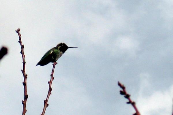 Still hummingbird