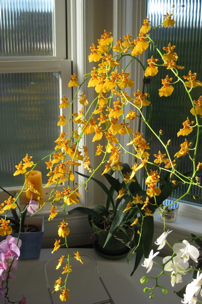Yellow orchid 1 03:05:10