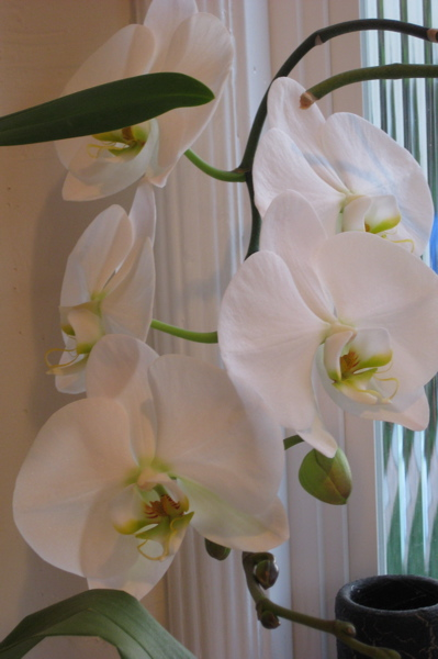 Big white orchid